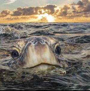 keep your head up cute sea turtle